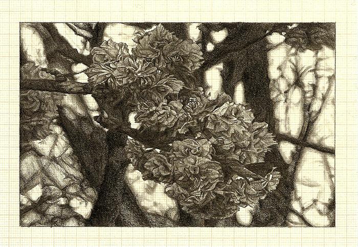 Blossom I , graphite on graph paper, 11cm x 16cm, 2012