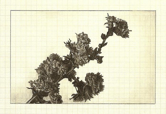 Blossom II , graphite on graph paper, 11cm x 16cm, 2012