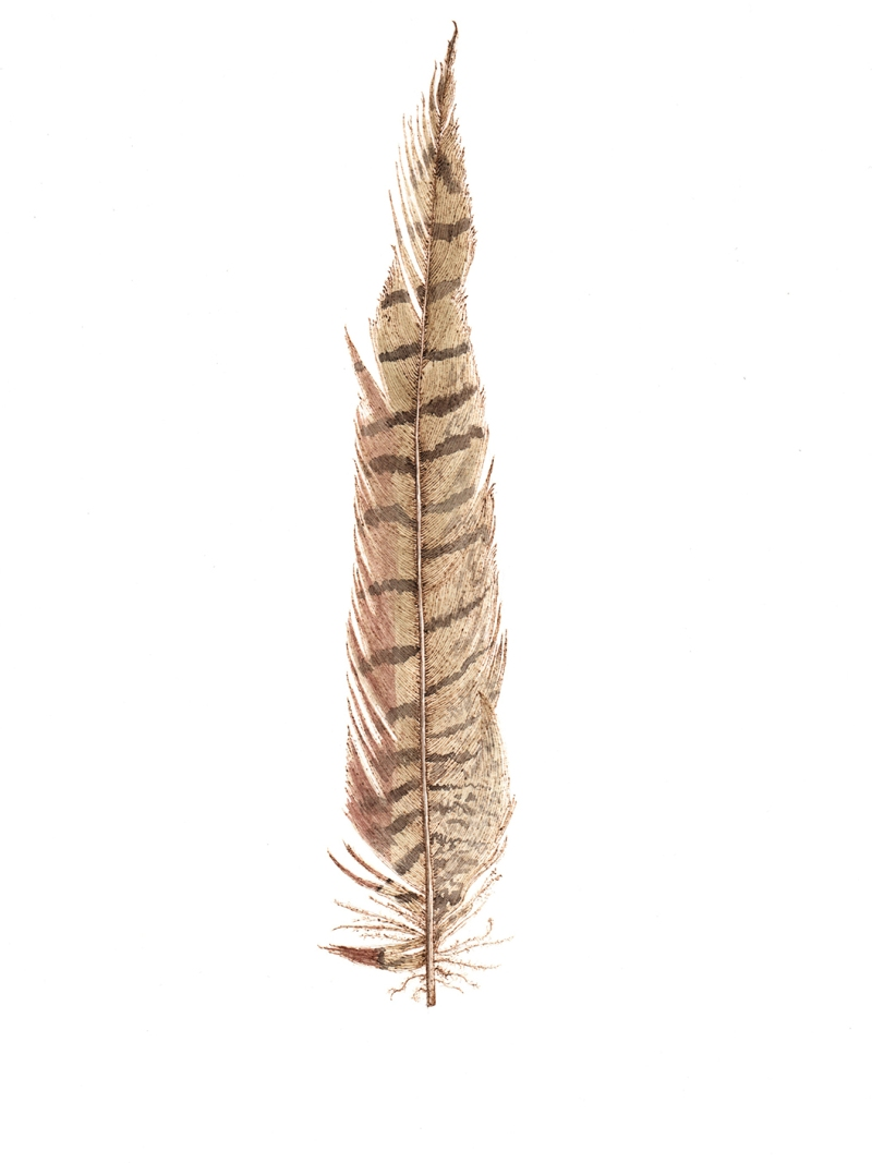 A Feather From Freyja, graphite, watercolour and pyrography on paper, 37cm x 27cm, 2019